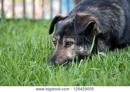 Stray, a street dog. The dog sad, lying on green grass. Concept - the problem of stray animals.