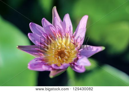 blooming lotus with yellow stamen under sunshine