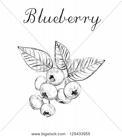 Blueberries sketch vector illustration. bunch of blueberries