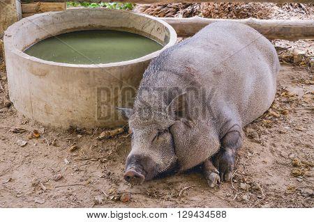 Breeding wild boar in the stall farm