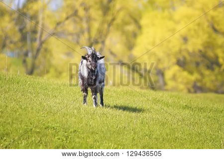 funny happy goat grazing in a lush green meadow on a farm