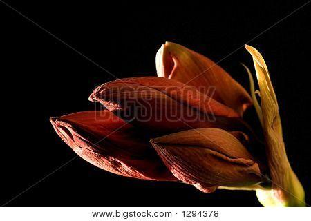 Red Amarylis