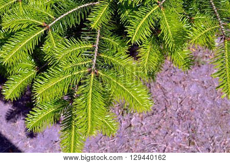 Branches of young evergreen conifer tree springtime