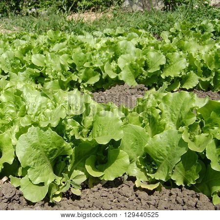 The bright green clumps of salad growing in garden beds