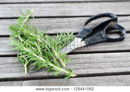 Freshly picked sprig of rosemary on the garden table with scissors