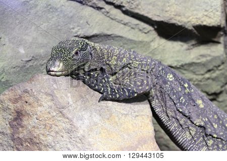 Papuan Crocodile Monitor Varanus Salvadorii on the rock