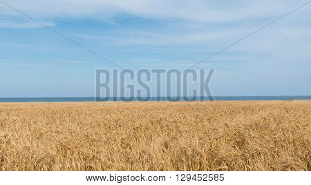 Yellow field sea and blue sky idyllic and relaxing background