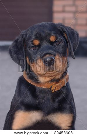 Little puppy of rottweiler in privat yard