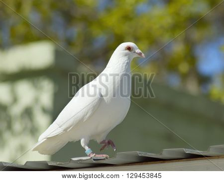 the white dove on spring foliage background