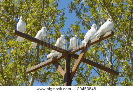 beautiful white doves - a symbol of peace and love