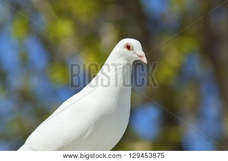 the beautiful white dove in spring close-up