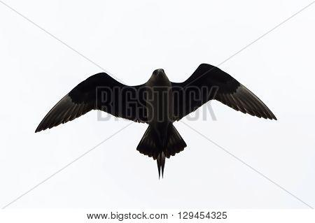 Arctic Skua in flight against white sky.