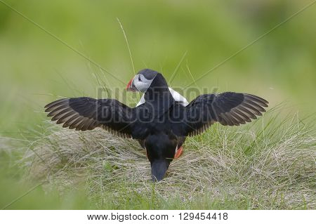 Atlantic puffin spreading  wings while standing in grass