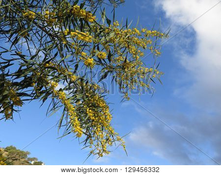 Yellow mimosa flowers on tree in early spring sunshine in Alora countryside Andalucia