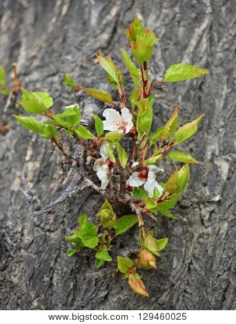 Apricot flowers on bark of old tree trunk