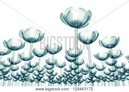 X-ray Image Of Flower Field Isolated On White , The Poppy Papaver