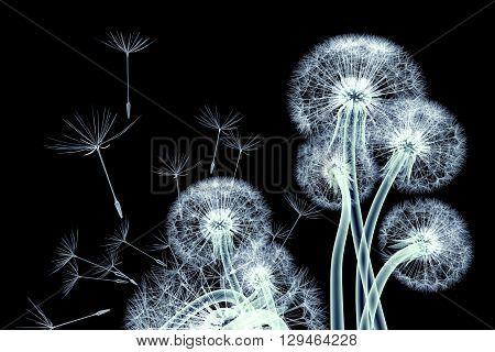 X-ray Image Of A Flower Isolated On Black , The Taraxacum Dandelion