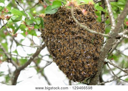 Honeybee swarm hanging at tree in nature.