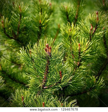 Natural fresh background, pine  on the green, on focus needles and cone, blur