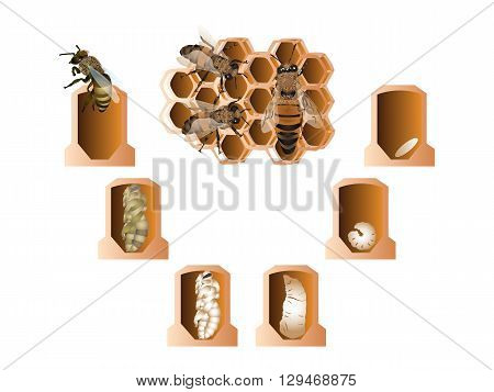 It is illustration of Life cycle of European honey bee.