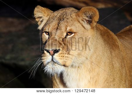 Lioness portrait in sunlight with rocky background