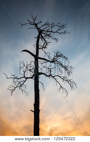 Dry Dead Pine Tree On Colorful Evening Sky