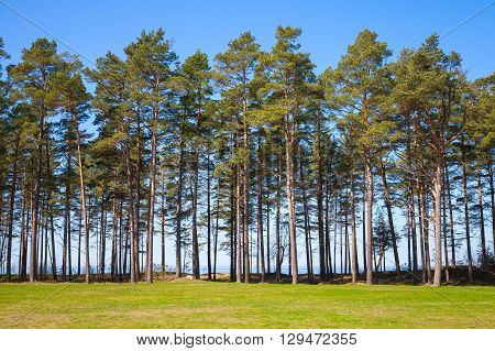 Pine Trees Grow On The Coast Of The Baltic Sea