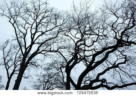 Old Leafless Bare Trees Over Blue Sky