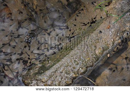 Tadpole In Water