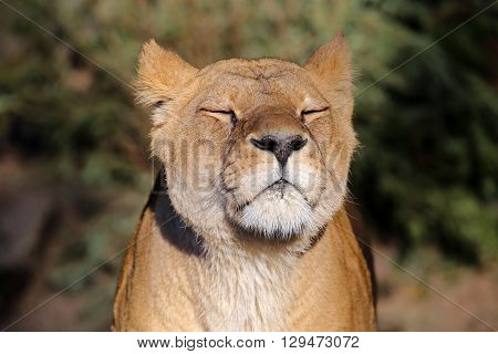 A Lioness is enjoying the sunlight with a green background