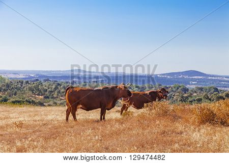 Cows of the Alentejana Breed (Raca Alentejana) bred free range in the vast rural fields. Alentejo Region of Portugal.