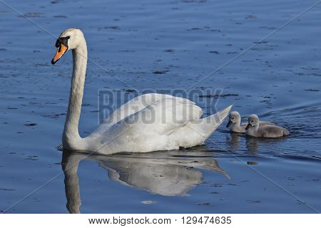 A mute swan swimming on a pond followed by two cygnets.