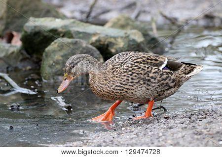 A female Duck walking near the water