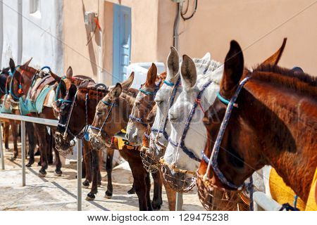 Donkeys on the island of Santorini raise tourists from the old harbor in the upper part of the city.