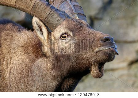 An Alpine ibex is showing his tongue