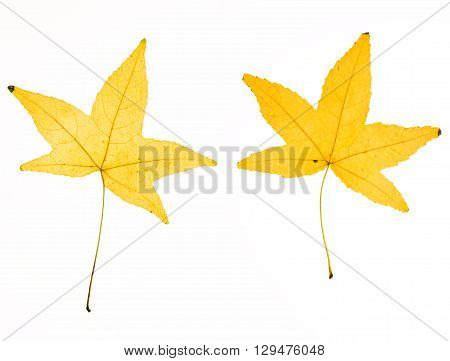 Illuminated Herbarium Of Acer Leaf Front And Back, Isolated On White Background.