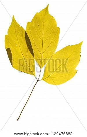 Illuminated herbarium of Acer negundo leaves isolated on white background.