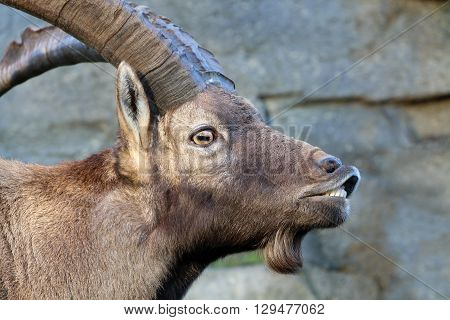 An Alpine ibex head with a rocky background