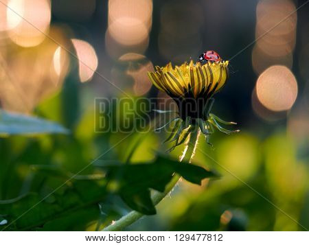 Yellow dandelions on a beautiful background. The evening sun. On dandelion naseomye - ladybird and aphids. Fabulous background