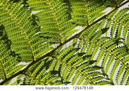 diagonal leaf of a tree fern as background selected focus narrow depth of field