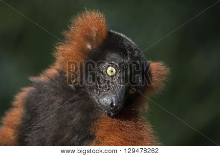 Cute red lemur with a green background