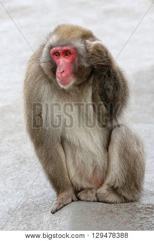 A Japanese Macaque is sitting on a rock