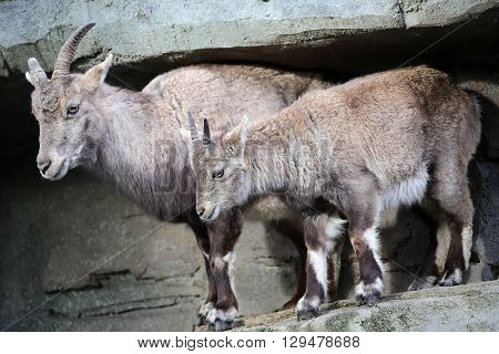 An Alpine ibex mother with her child