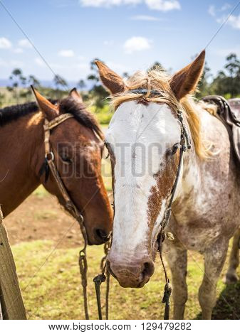 A couple of Horses together in Easter Island