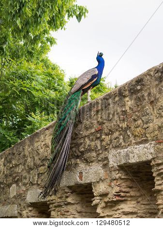 A peacock showing off its huge plumage in the Sao Jorge castle Lisbon