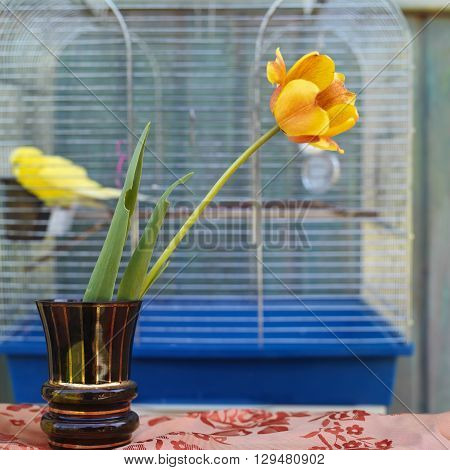 A single tulip in vase next to a bird cage with yellow budgie inside square outdoor shot