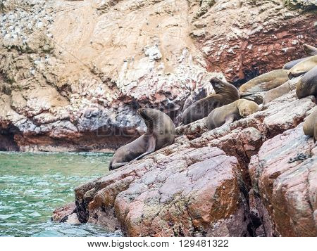 Peruvian sea lions seen in the Ballestas islands in the Paracas National Park Peru