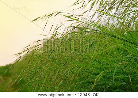 LONG-GRASS-FLOWERS IN FRESH-GREEN GRASSLAND (SELECTIVE POINT FOCUS)