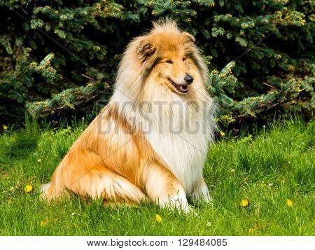 Collie rough looks.  The Collie rough is on the green grass.