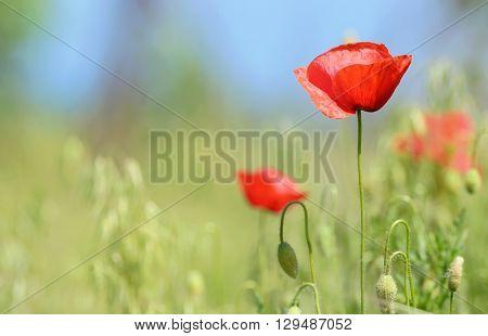 wild poppy flowers on spring field